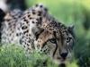 Cheetah at Seaview Game Reserve